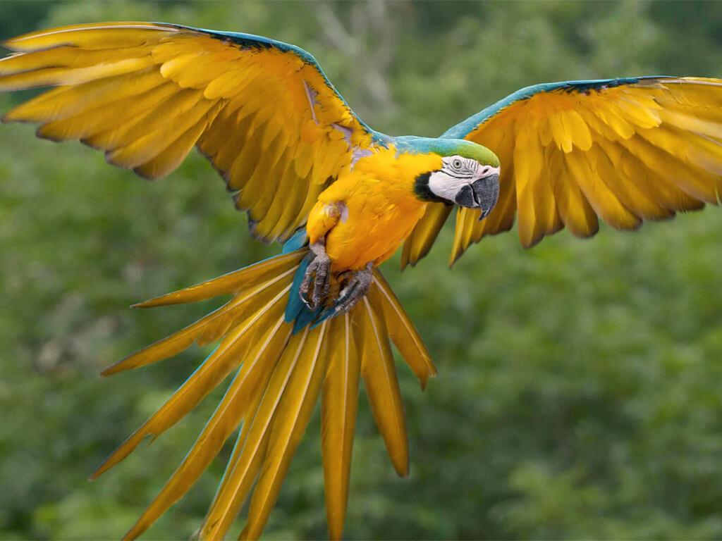 Ara bleu du Parc national Amboró en Bolivie