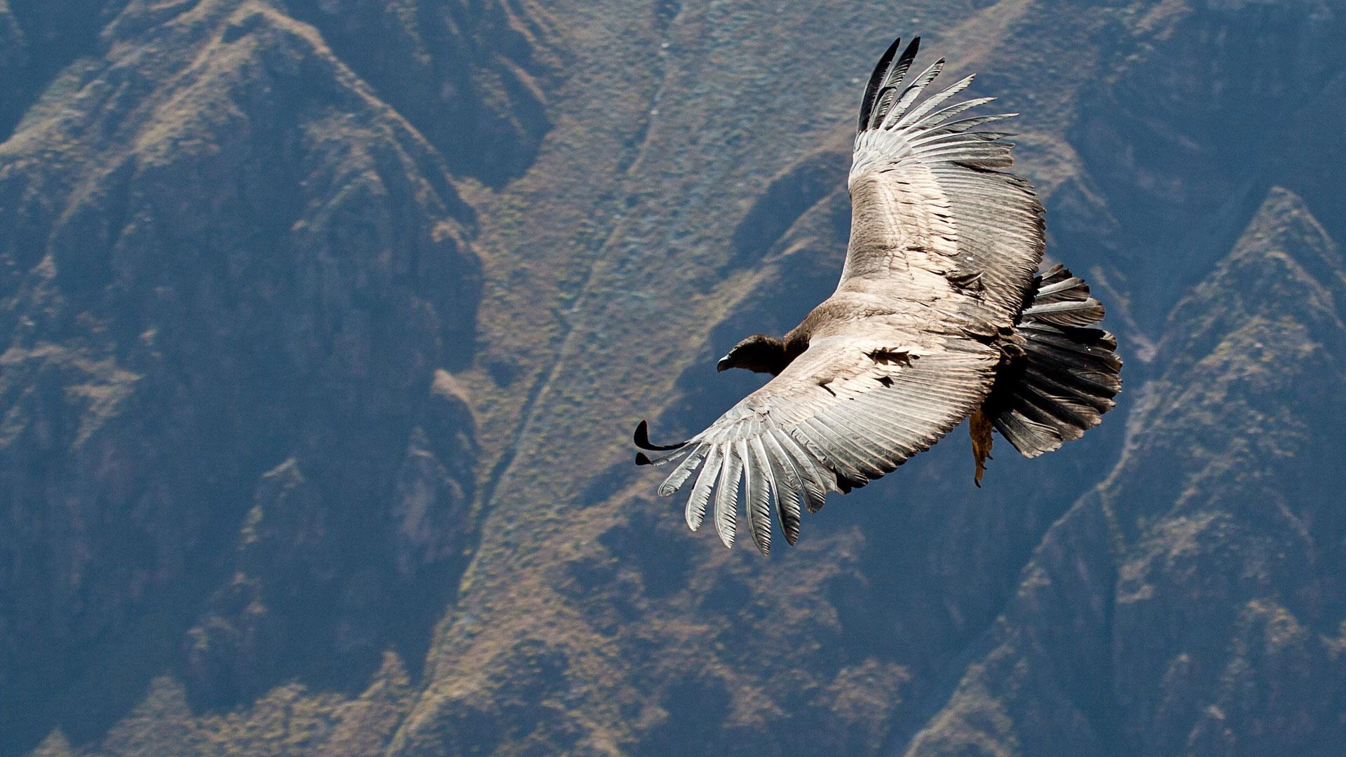Arequipa et le vol du condor dans le canyon de Colca
