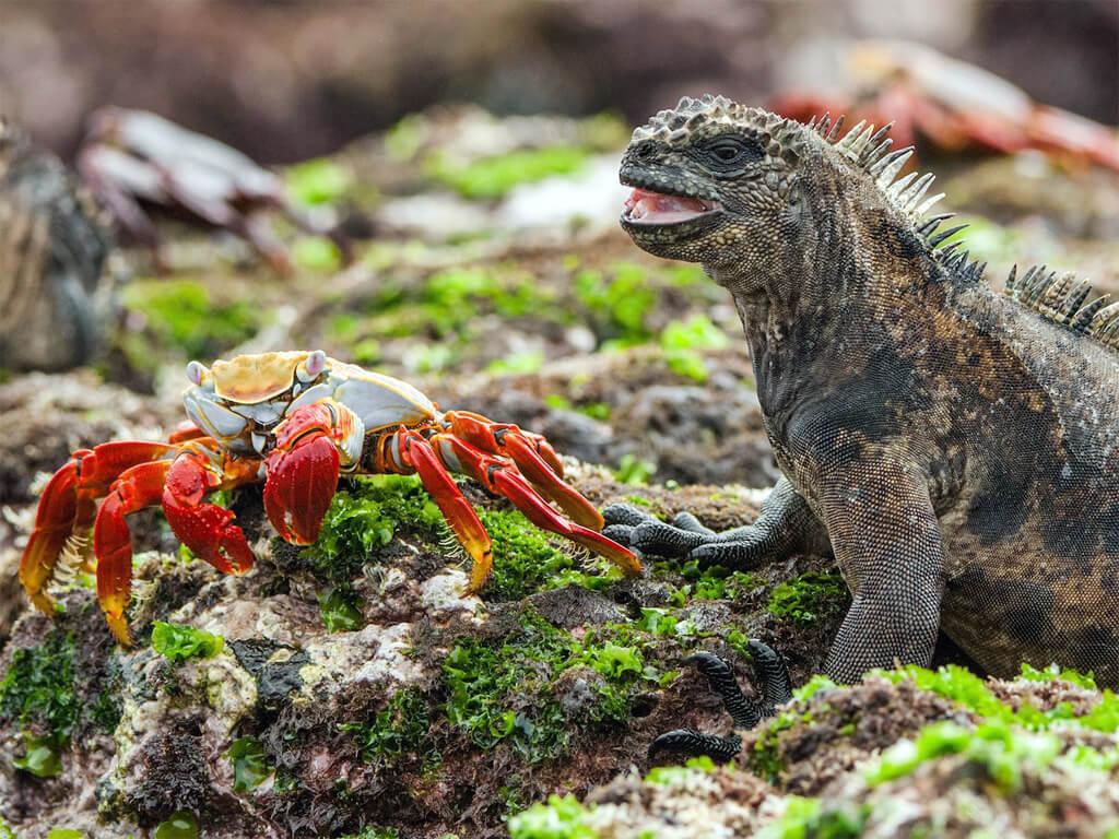 Crabe coloré avec un iguane sur l'archipel des Galápagos
