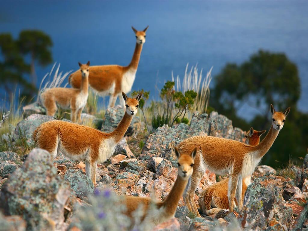 Élevage de vigognes sur l'Île de Suasi Lac Titicaca au Pérou