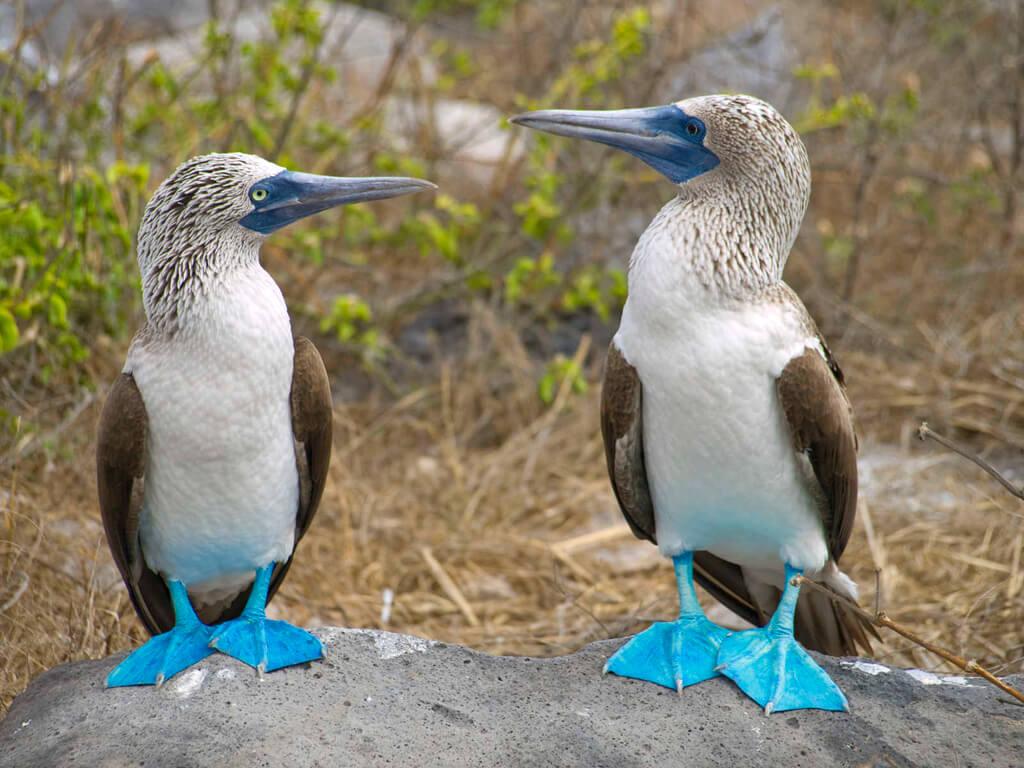 Fous à pieds bleus des Galápagos qui se laissent photographier volontiers
