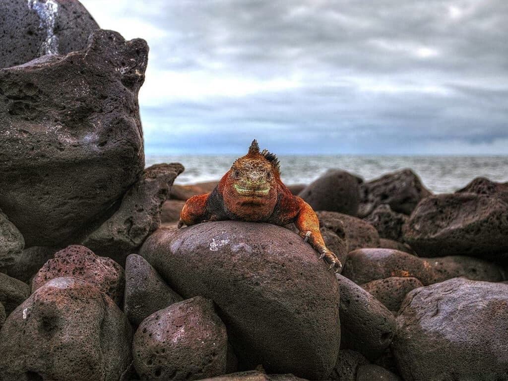 Iguane au détours d'un chemin lors d'une balade en VTT aux Galápagos