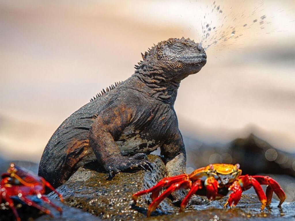 Iguane marin des Galápagos qui se débarrasse du sel de l'eau de mer