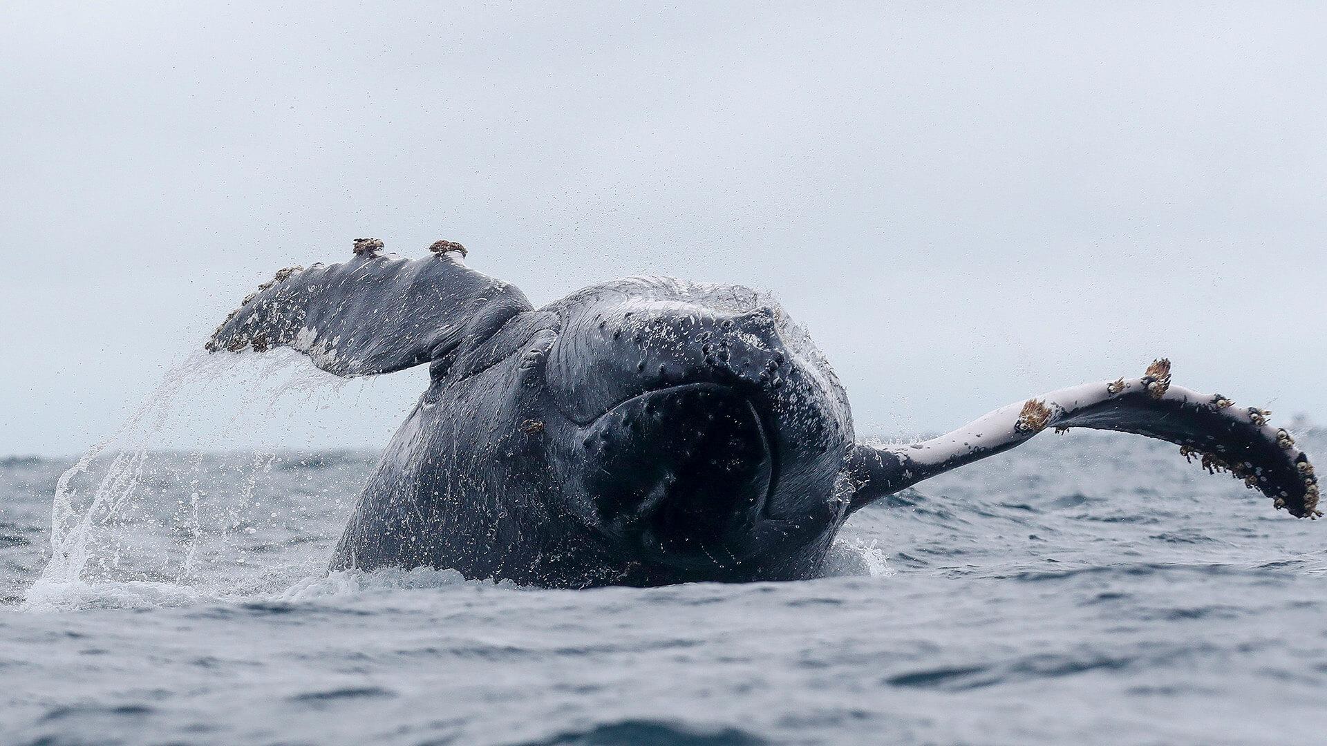 Île de la Plata en Équateur pour observer baleines à bosse