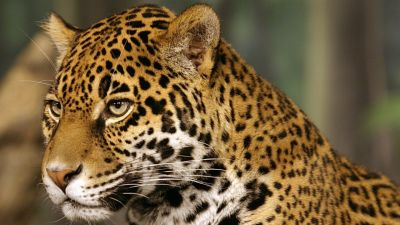Jaguar de la forêt en Amazonie péruvienne