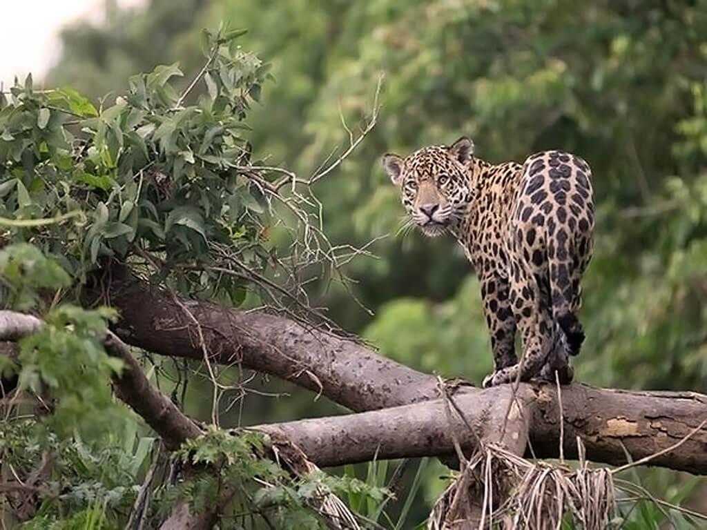 Jaguar de Pacaya Samiria, Pérou