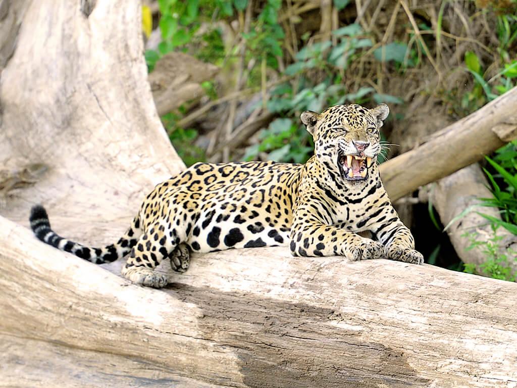 Photographier le jaguar dans le parc national de Manú au Pérou