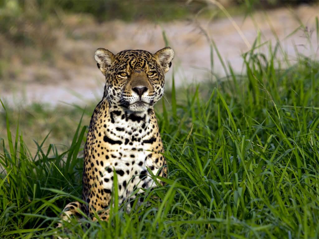 Photographier le jaguar à l'état sauvage dans le parc national Kaa Iya en Bolivie