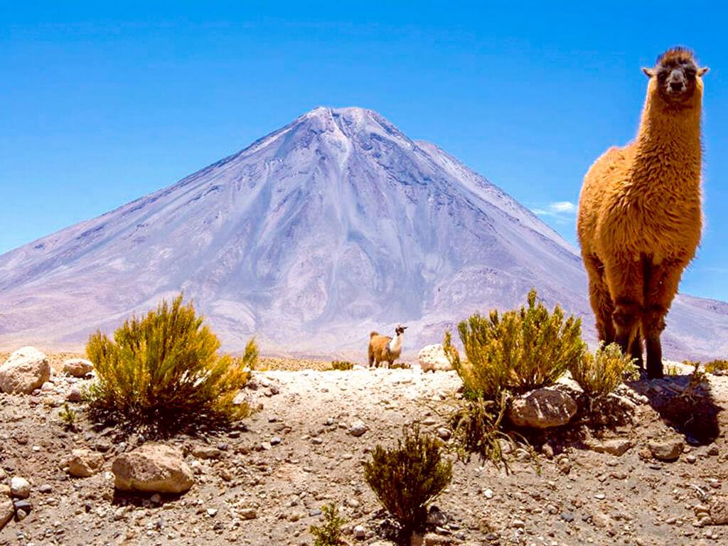 Lama avec le volcan Licancabur en Bolivie
