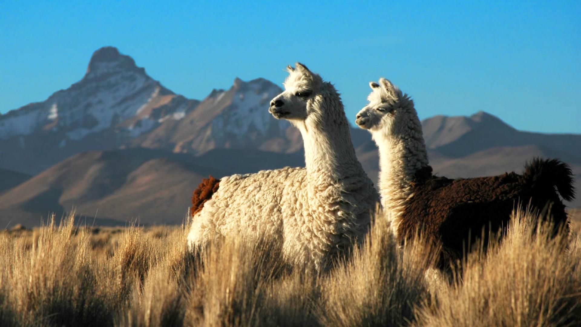 Lamas en Bolivie