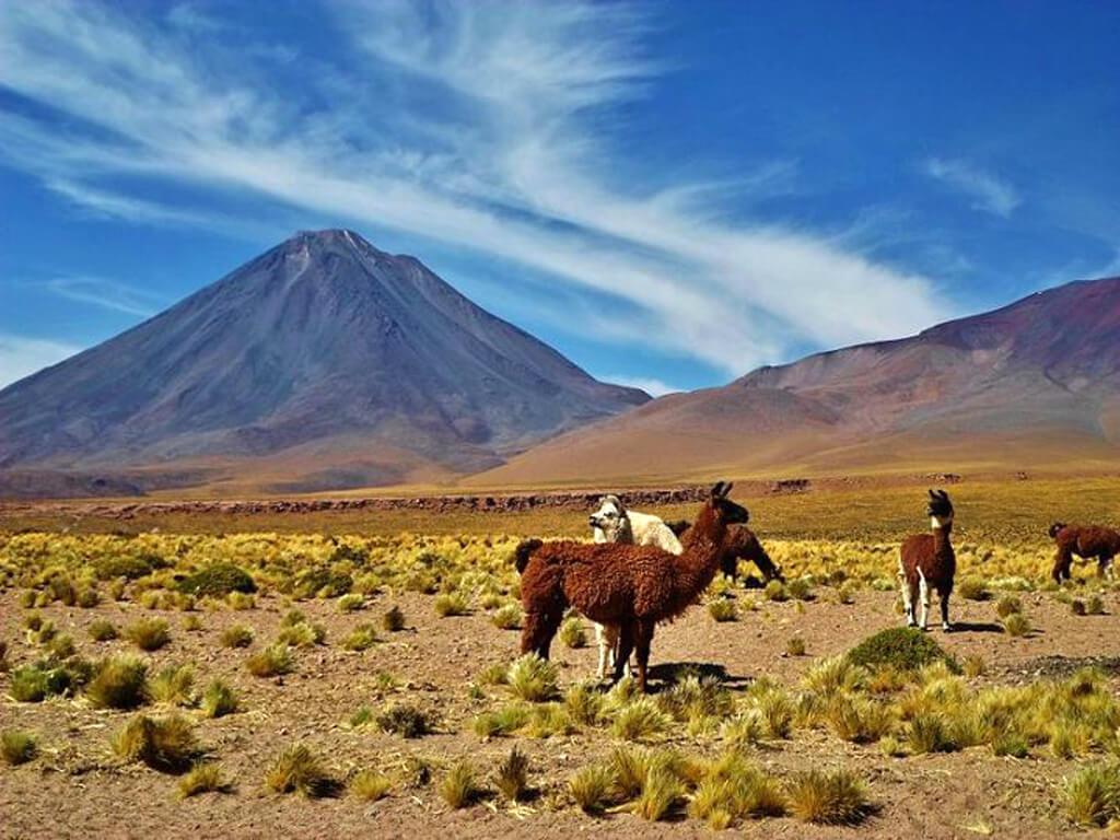 Des lamas avec le volcan Licancabur du côté d'Atacama au Chili