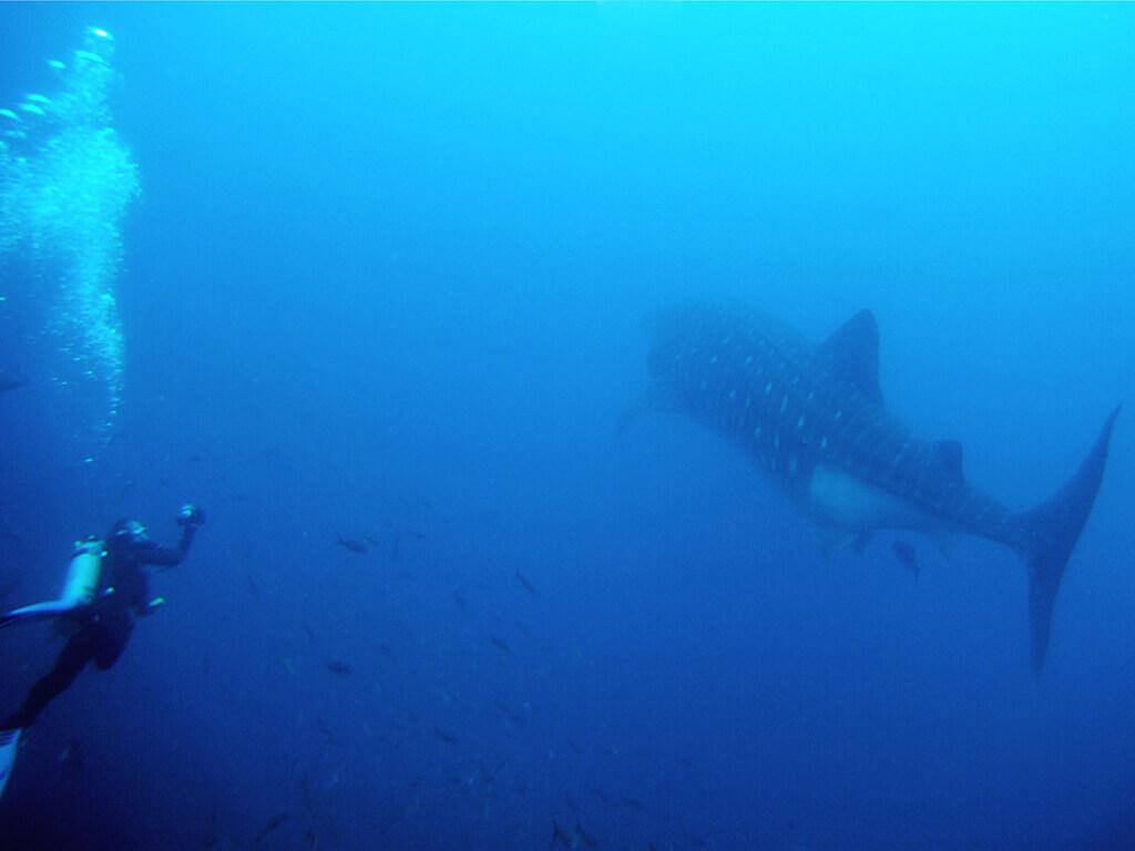 Au plus près d'un requin-baleine aux Galápagos