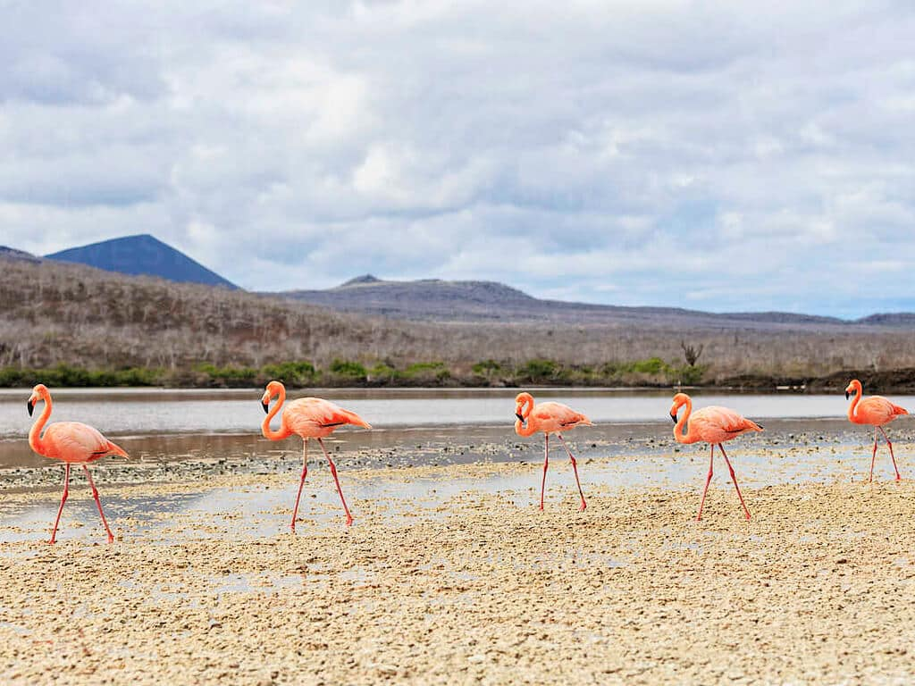 Flamants roses sur l'île Floreana aux Galápagos