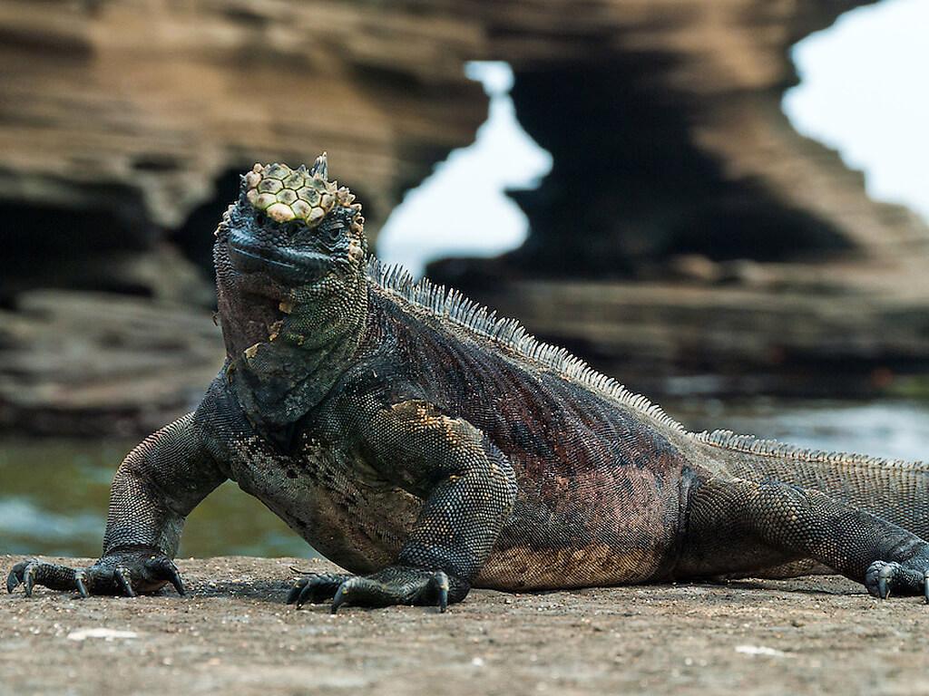 Iguanes de mer sur l'île San Salvador aux Galápagos
