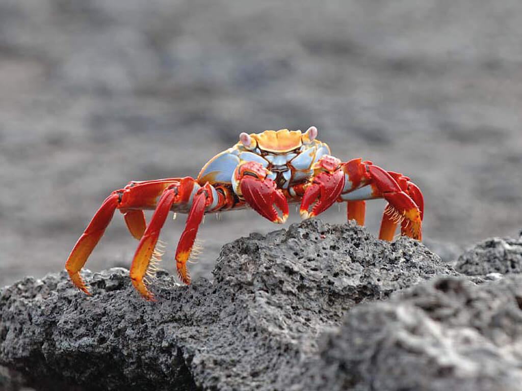 Crabe rouge de l'île Santa Cruz aux Galápagos