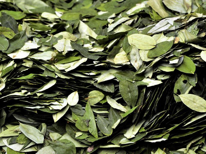 La coca, feuille sacrée des Andes