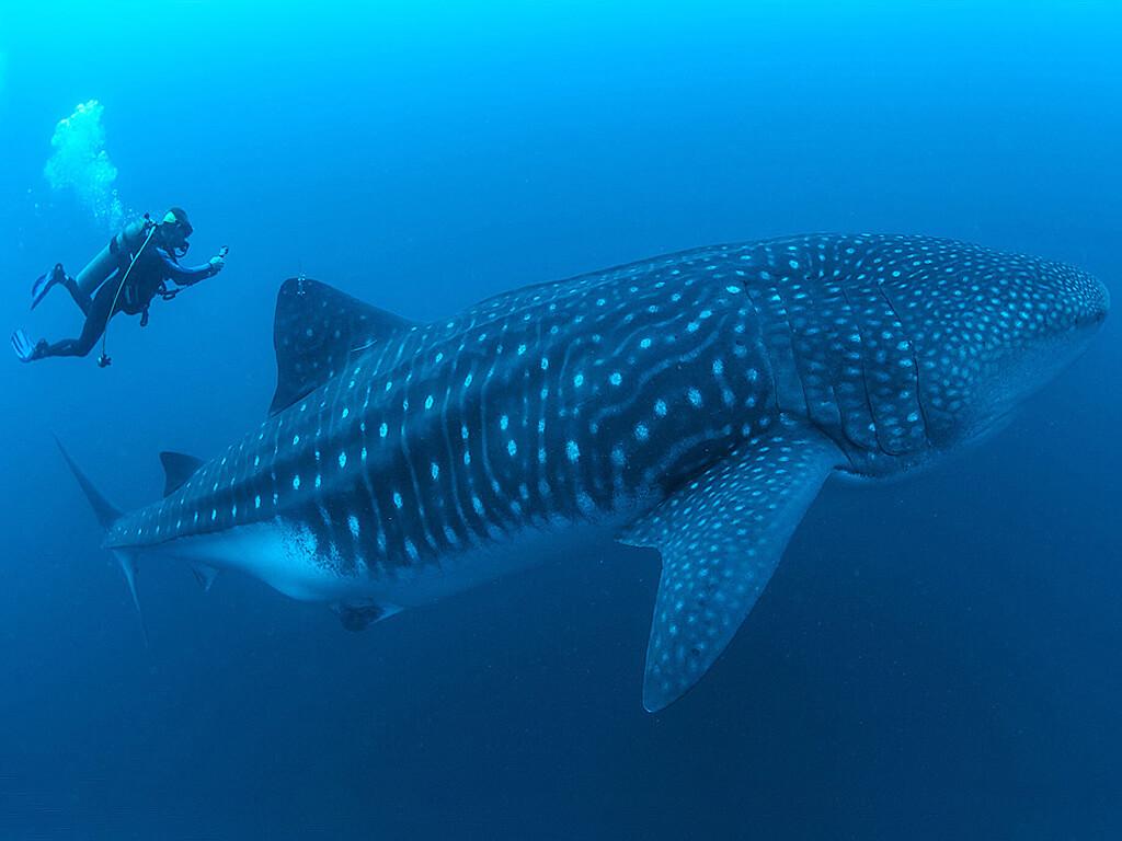 Rencontre avec un requin-baleine à Darwin et Wolf aux Galápagos