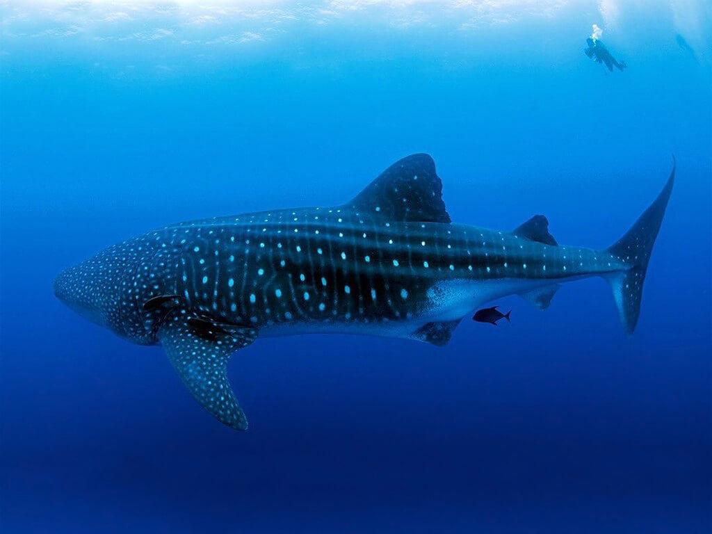 Requin-baleine des îles Darwin et Wolf aux Galápagos