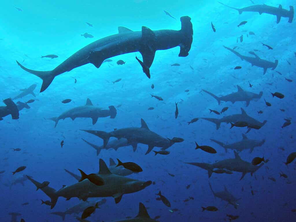 Requins-marteaux aux îles Darwin et Wolf, archipel des Galápagos