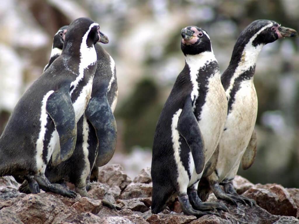Photographier les manchots de Humboldt à Paracas, Pérou