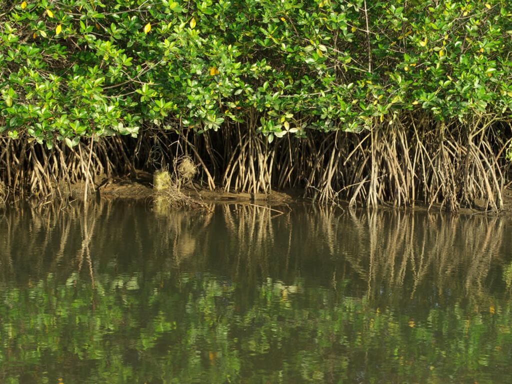 Les mangroves sur le fleuve Tumbes au Pérou