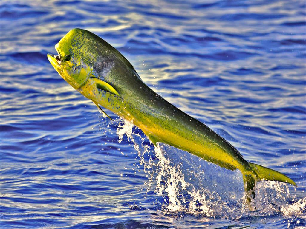 Pêche en Équateur d'un Perico