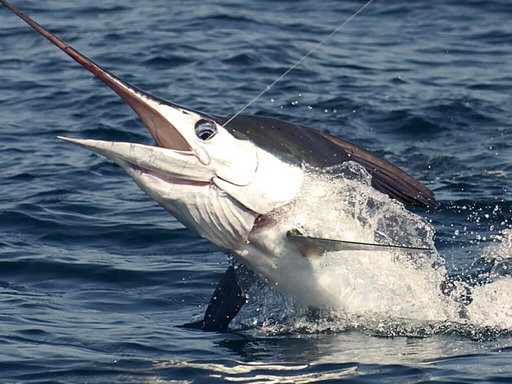 Pêche de Marlin noir au Pérou