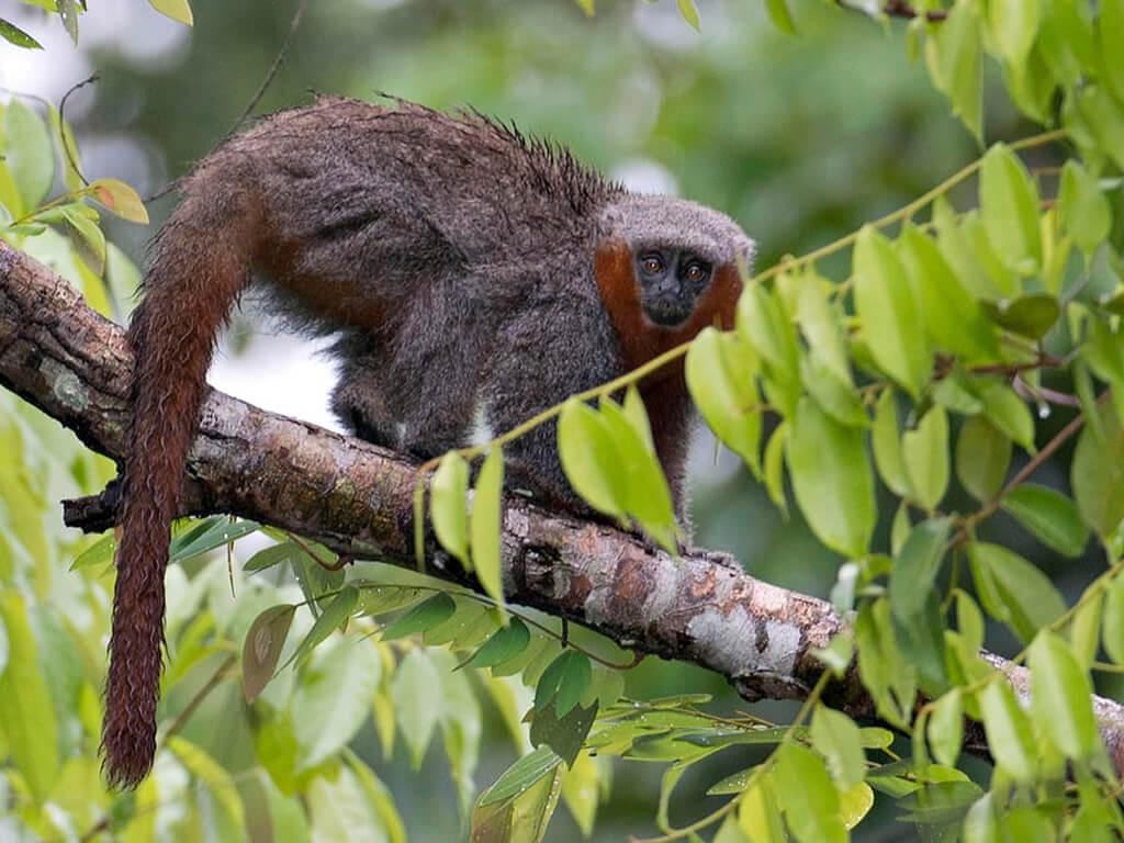 Singe Titi dans le parc national Madidi en Bolivie