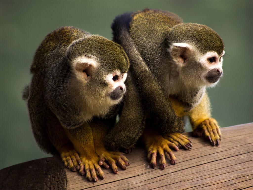 Photographier des singes dans le Parc national Amboró en Bolivie