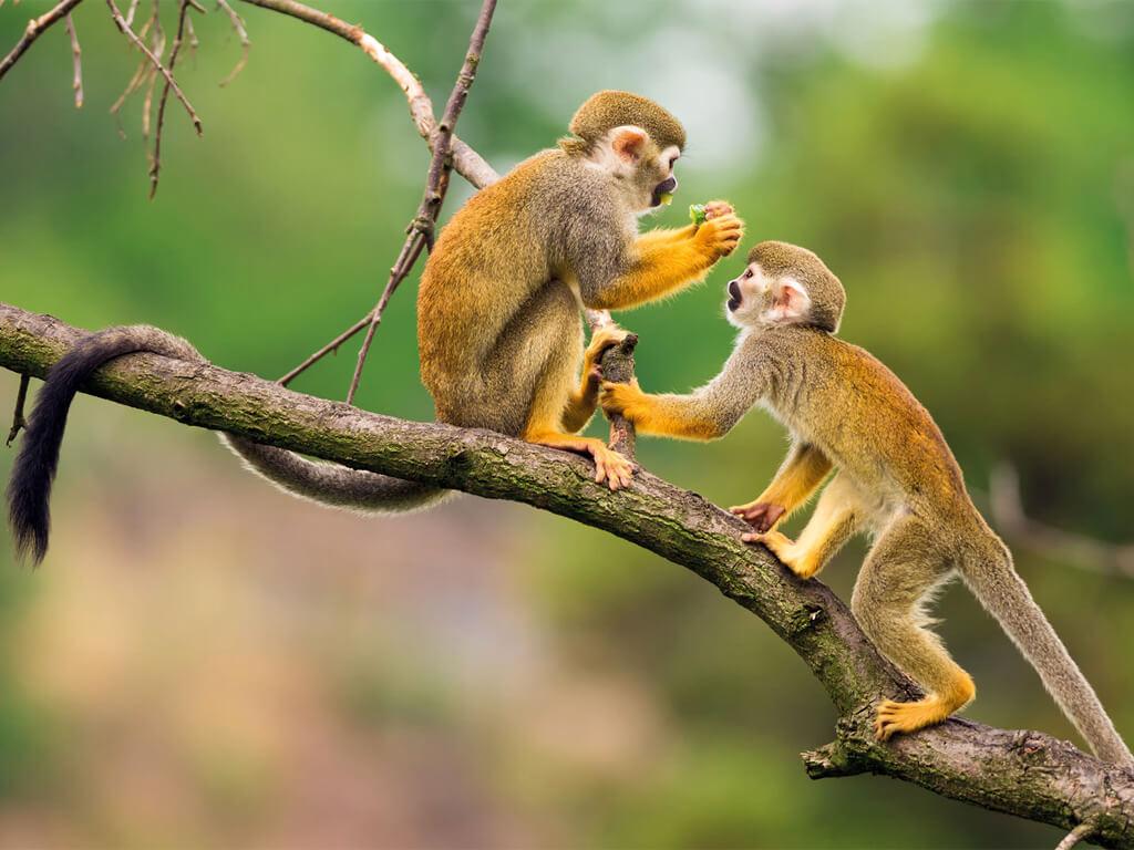 Singes de la réserve Cuyabeno en Équateur