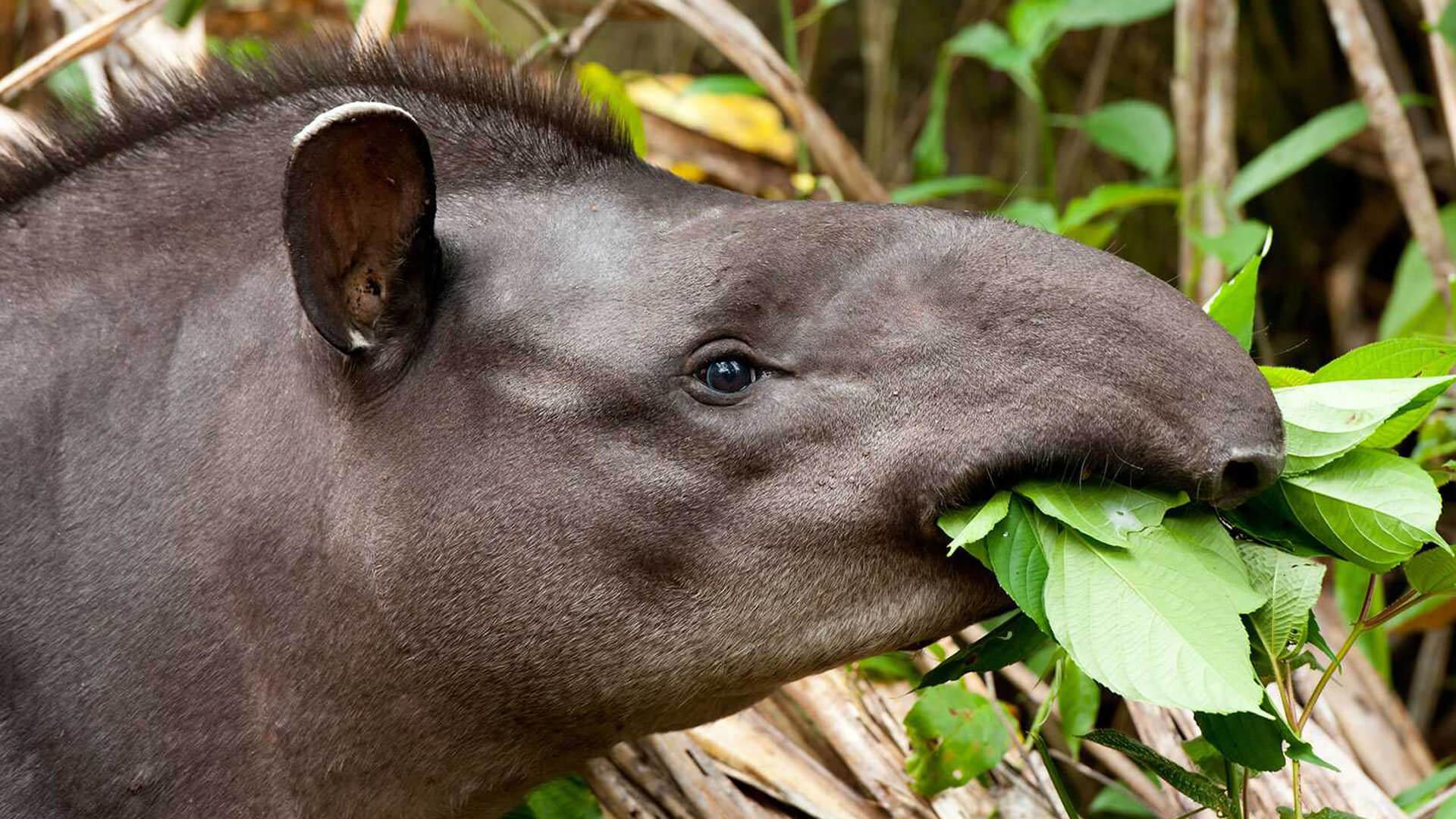 Tapir de la réserve national Pacaya-Samiria au Pérou