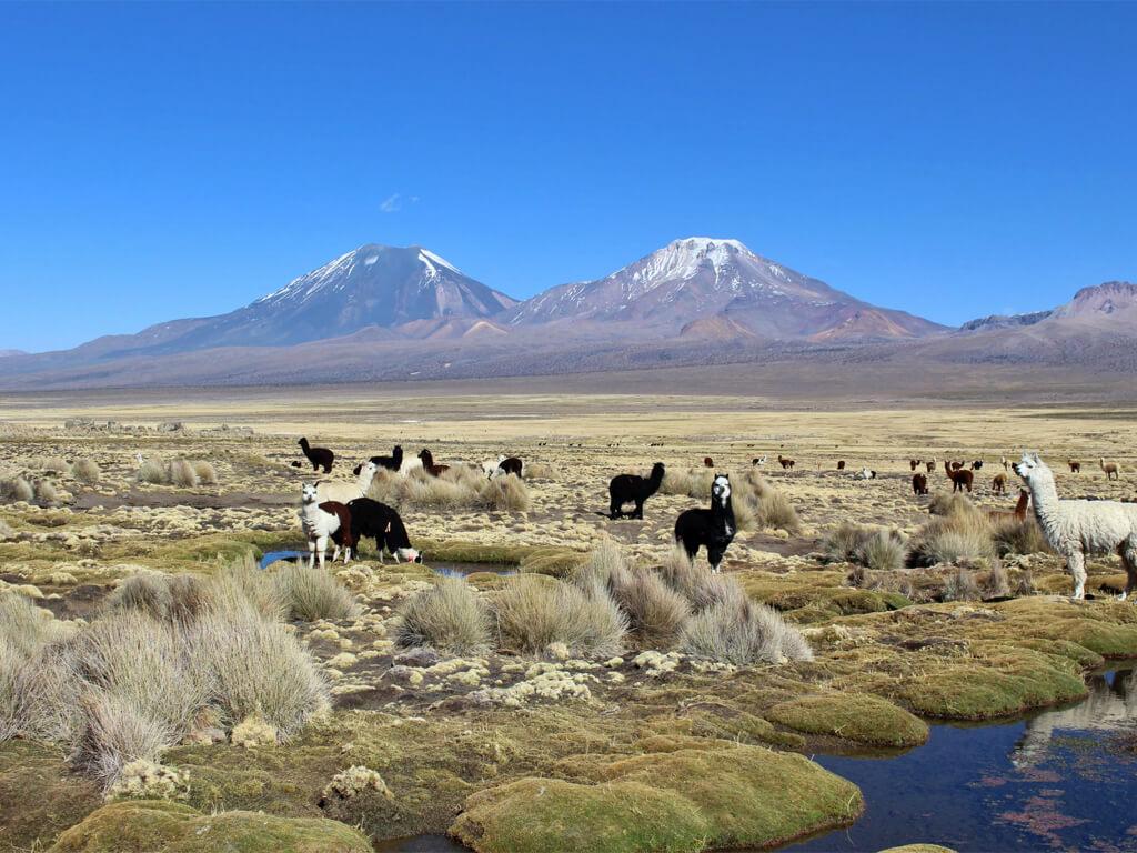 Entre thermes et lamas à Sajama, Bolivie