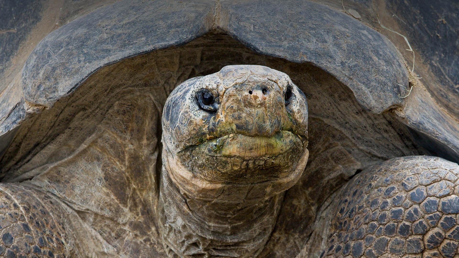 Tortue des îles Galápagos