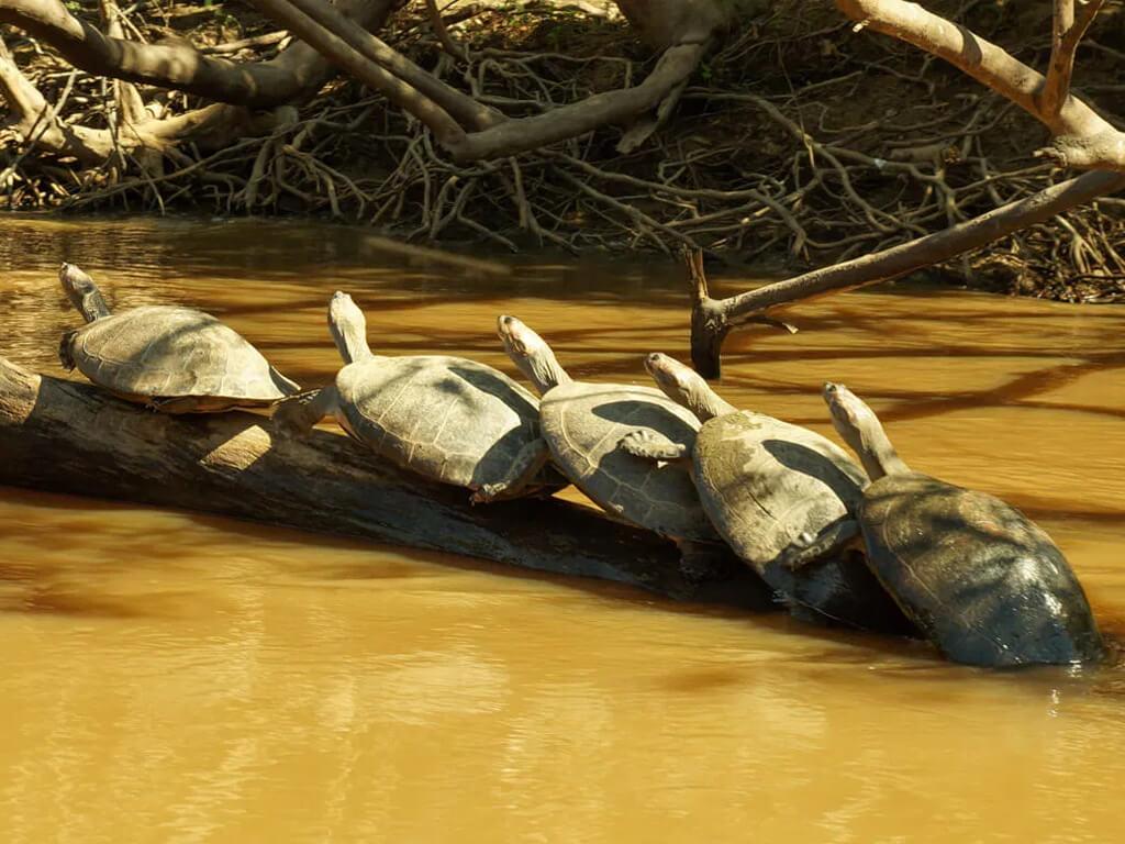 Tortues en file indienne dans le Parc national Madidi