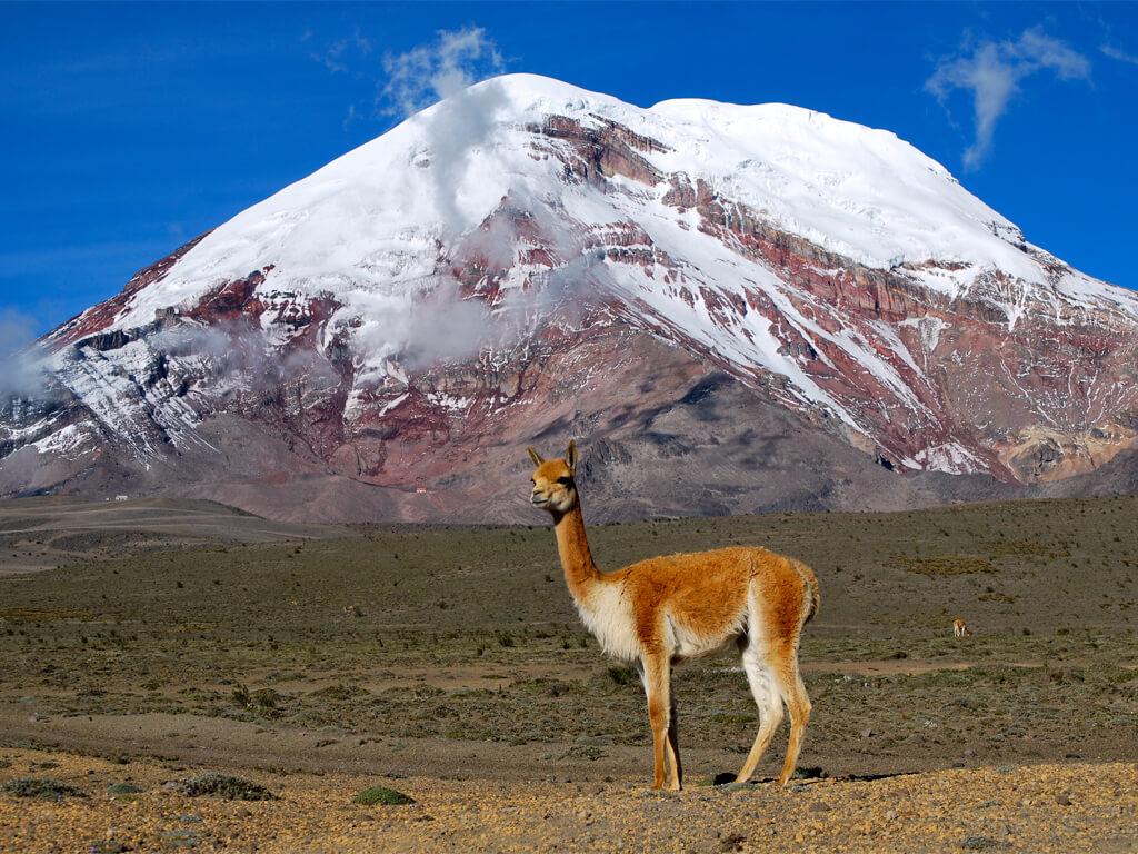 Vigogne au volcan Chimborazo en Équateur