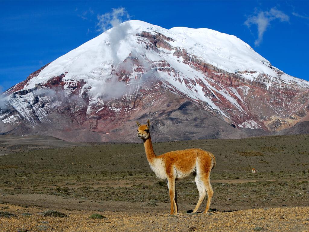 Une vigogne et le volcan Chimborazo en Arrière-plan