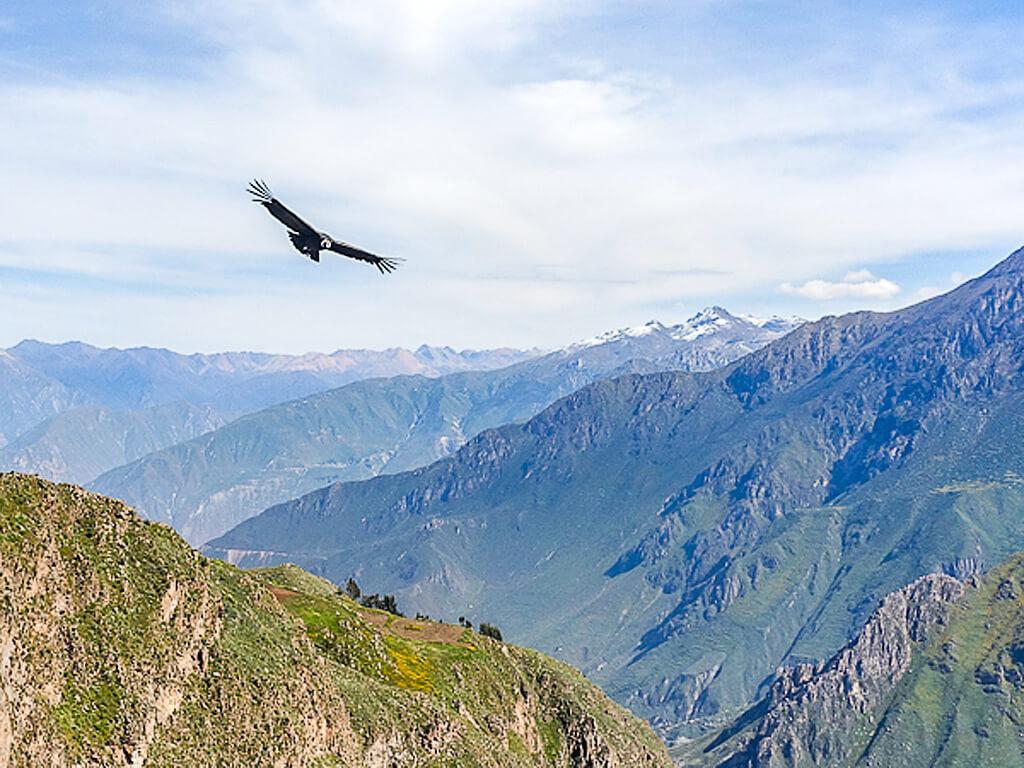 Vol du condor au-dessus du Canyon de Colca au Pérou