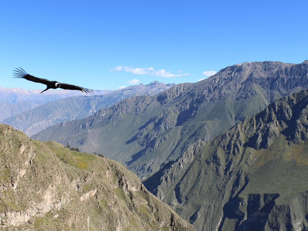 Vol du condor dans le canyon de Colca
